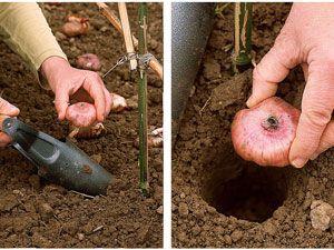 Planter le glaïeul - Les différentes étapes de la plantation :