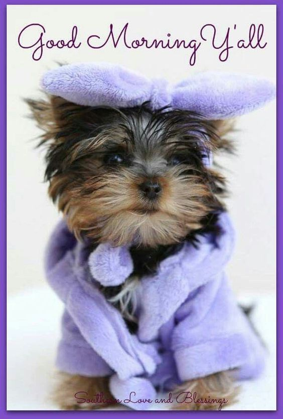 Good Morning Y All ☆♡ Yorkshire Terrier Puppies