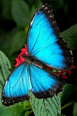 These blue butterflies  make Osa Mountain Village, Costa Rica  their home. ...Breath taking! And 5-7 inches across...  They will actually land on your face and walk around! How cool is that?  Come see for yourself!