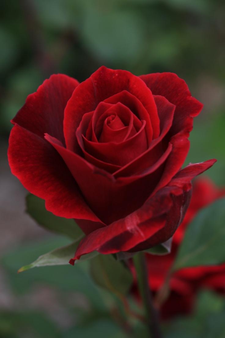 macro photography of a red rose rosen pinterest rose. Black Bedroom Furniture Sets. Home Design Ideas