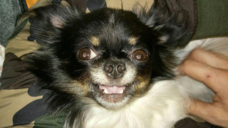 Chihuahua lindo o meu :)