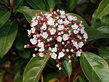 Viburnum Tinus It is a shrub (rarely a small tree) reaching 7–23 ft tall and 10 ft broad, with a dense, rounded crown. The leaves are evergreen. The flowers are small, white or light pink, produced from reddish-pink buds. The flowering period is from October to June.