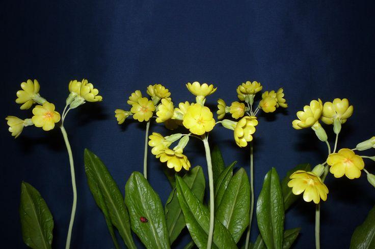 Primula veris - tavaszi kankalin ...........Clay Flowers in the Museum of Natural History - Grassalkovich Castle, Hatvan ..........Agyagvirágok a Természettudományi Múzeumban - Grassalkovich Kastély, Hatvan