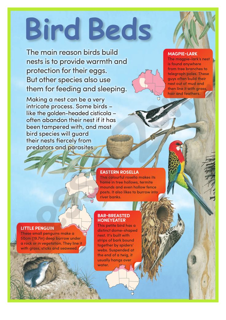 Learn all about Australian birds and where they make their homes across Australia! For the FREE 2 page download, visit http://lessonzone.com.au/bird-beds/