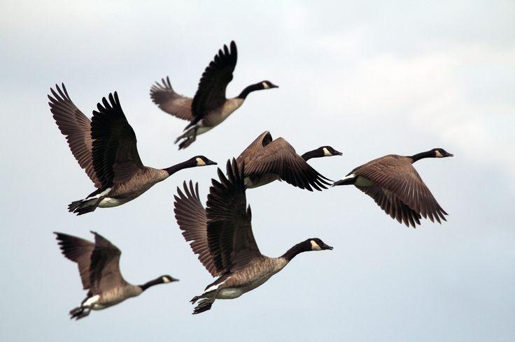 patos, bandada, volar, migración, alas, cielo, 1708202225