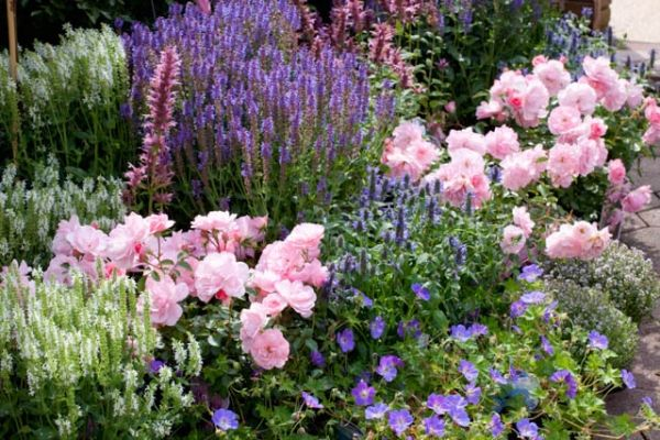 Garden ideas, Border ideas, Plant Combinations, Flowerbeds Ideas, Summer Borders, Rose Bonica, Rosa 'Bonica', Salvia Blue Hill, Salvia Snow hill, Geranium Rozanne, Salvia Blauhugel, Salvia Schneehugel