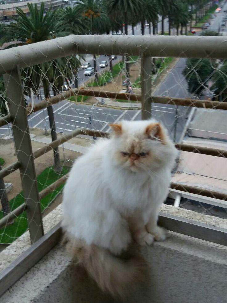 Gato persa himalayo en la terraza
