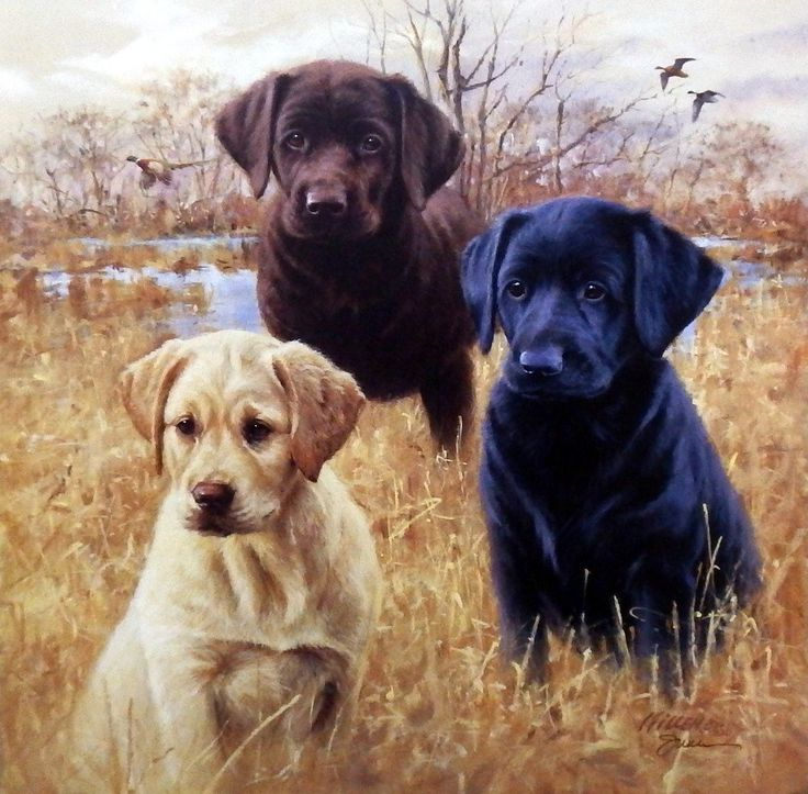 """Another great hunting dog print for sale--MARSH DAZE by James Killen. Three labrador puppies look eager to get into the action, although the pheasant and ducks are behind them. """"My 'Great Hunting Dog'"""