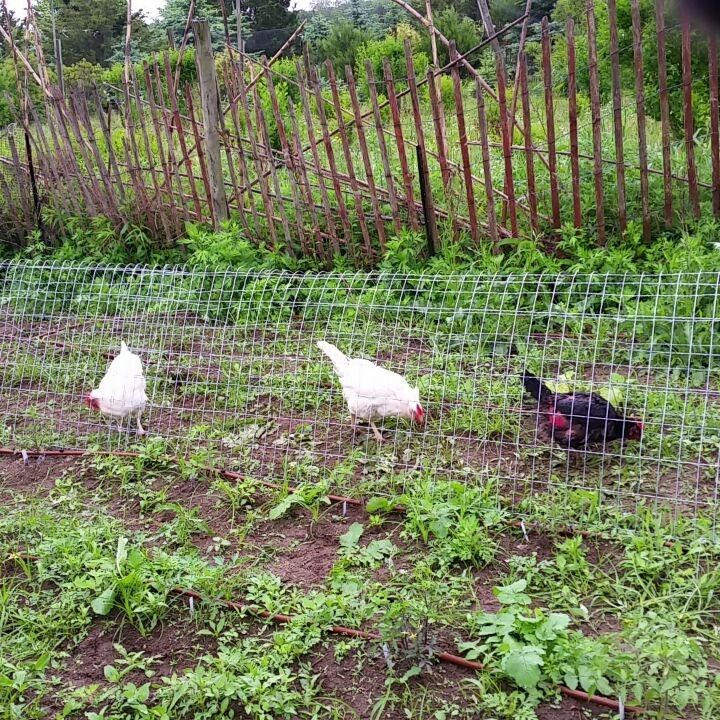 Chicken Tunnels Also Known As Chunnels Are The Best Way To Protect Your Flock While Also Letting Them Rang Chicken Tunnels Chicken Garden Easy Chicken Coop