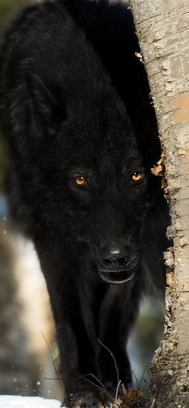 Black Wolf--Beautiful, while still slightly freaking me out as I remember my old Big Bad Wolf fear. I still love wolves though and it's only the pose/angle that gets me.