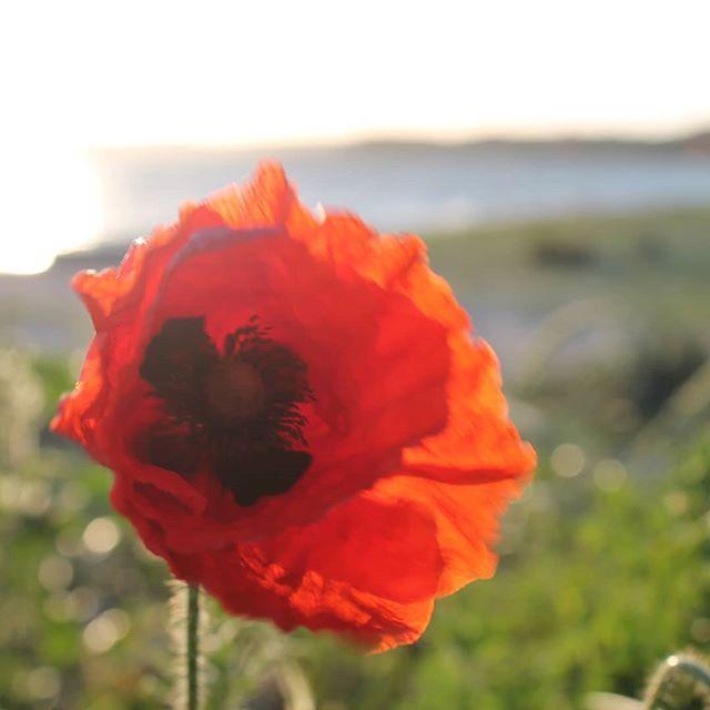 Mohn Am Strand Der Fruhling Kommt Thiessow Instagermany Inselruegen Mohnblume Blute Ostsee Ferienhaus Ferienwohnung Feriena Plants Flowers Rose
