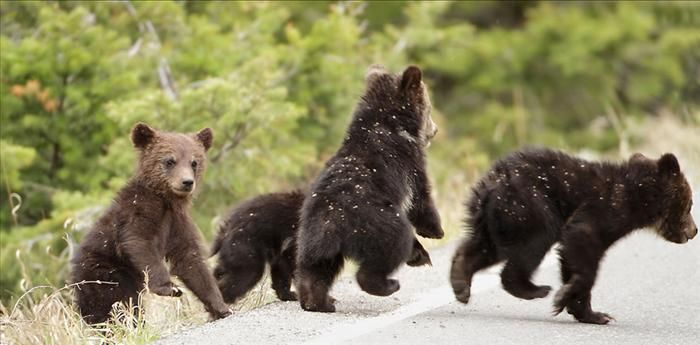 Four cubs of a single grizzly family. This is a very rare number of cubs born in one pregnancy and is only the 3rd documented time in the history of the park.  Yellowstone Park