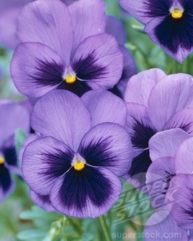 light purple pansies