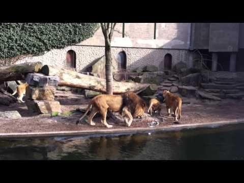 Deze leeuwen verslinden een reiger in Artis!