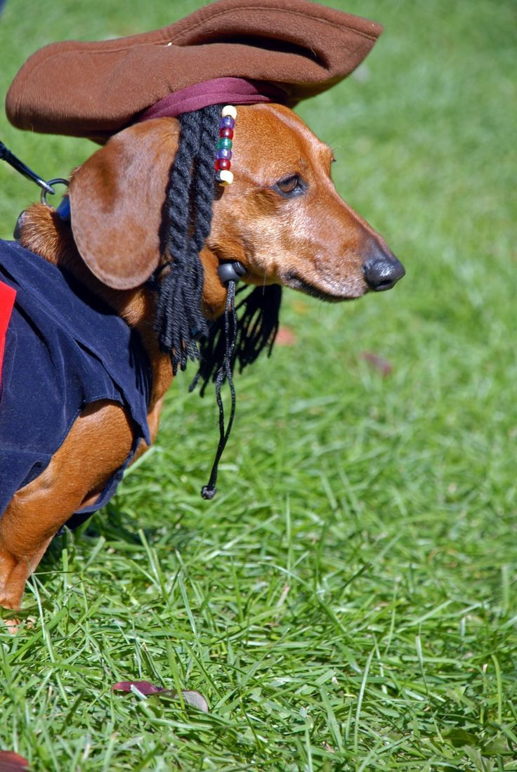 This is the tail of Captain Jack Sparrow... #dachshund #halloween #costume