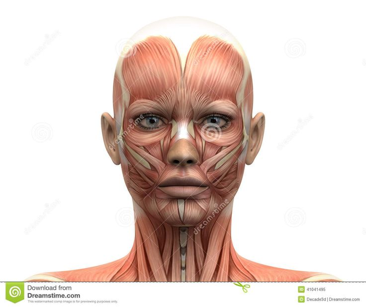 Female Head Muscles Anatomy - Front View Stock Illustration - Image: 41041495
