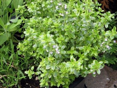 The oils of lemon thyme plants also make an excellent mosquito repellent when crushed; useful when outside in the evening puttering in the garden.