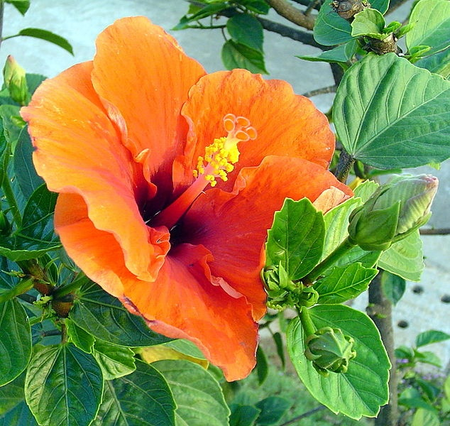 Hibiscus flower meaning    Delicate Beauty
