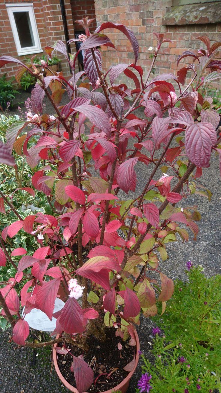 Stunning Autumn Leaf Colour Viburnum Bodnantense Dawn Has
