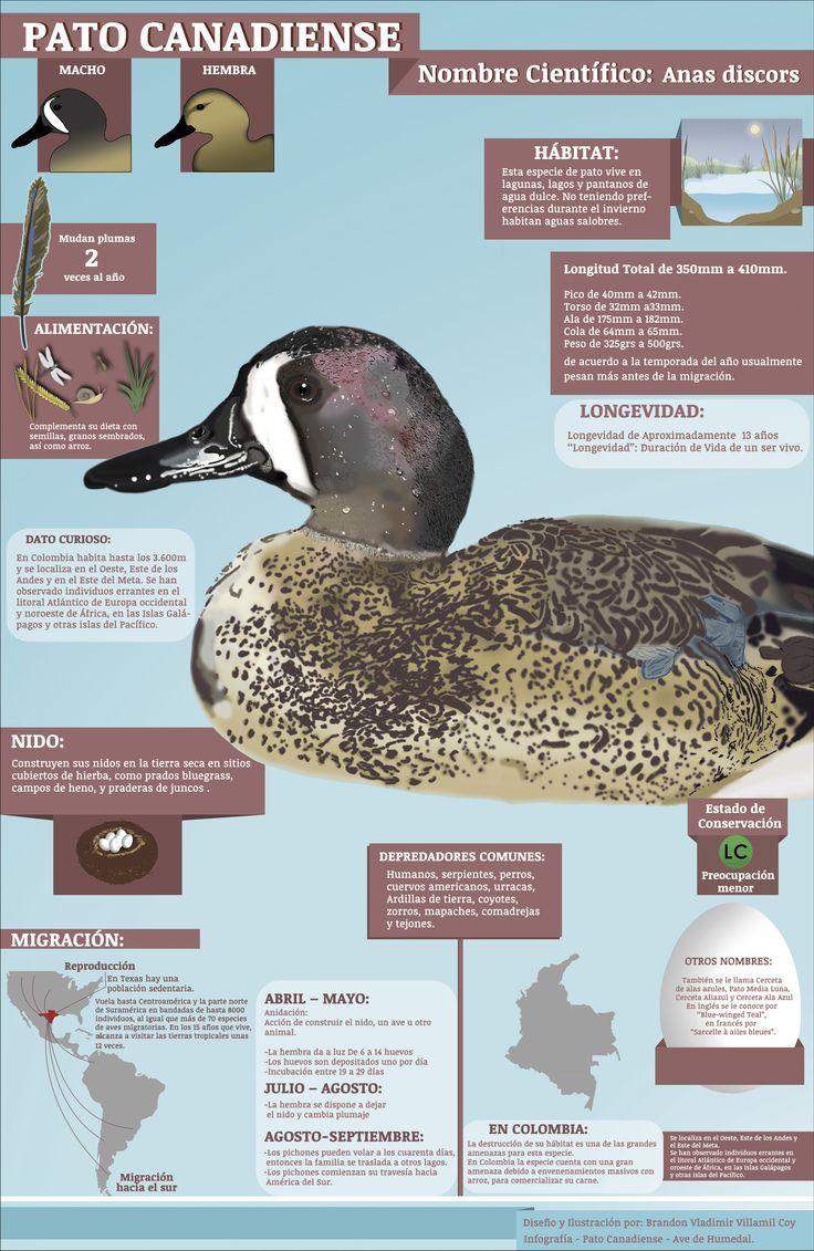 Infografía Pato Canadiense.