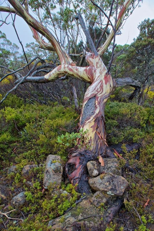 Snow Gum / Eucalyptus pauciflora , Tasmania, Australia -