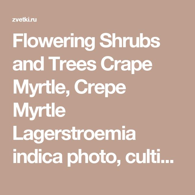 Flowering Shrubs and Trees Crape Myrtle, Crepe Myrtle Lagerstroemia indica photo, cultivation and maintenance, planting and watering, characteristics and description, seedlings