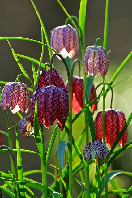 snakes heads 038   Flickr - Photo Sharing! I had a few of these this spring! so pretty!