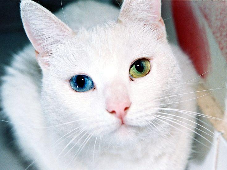 Белый пушистый кот с разными глазами это