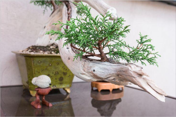 Transformándolos en proyectos de bonsai, los durazneros viven ahora en cuencos que se guardan en lugares de tránsito. Al no contar con una casa propia, el artista asume la condición errante.   FLORA ars+natura   Antonio Díez: Jardín errante