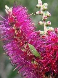 Callistemon Purple Splendour Very showy shrub for a brilliant specimen or privacy screen - hedge plant. Dark green foliage contrasting with masses of Purple flowers from September through to December.Grows up to 2 metres high. Spread 2-4m