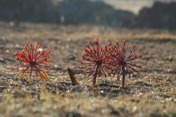 Chandelier Lilly Brunsvigia orientalis