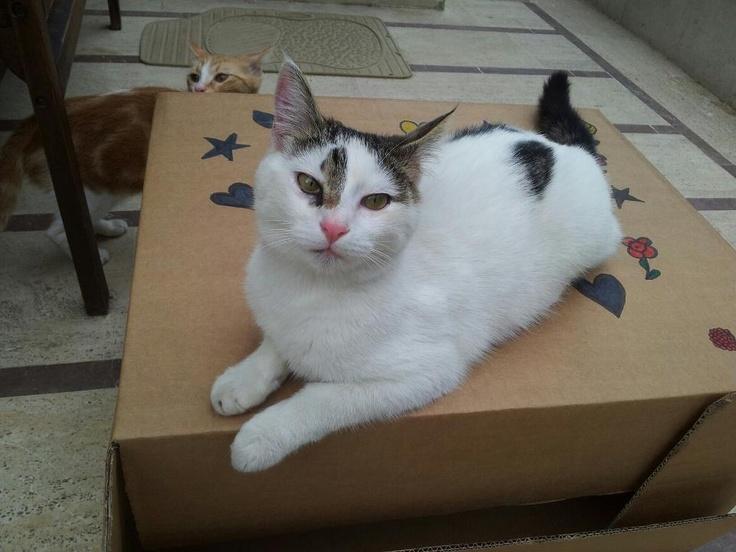 Faça kendinden emin bir kedi, hediye çekinin sahibi olacağından da!     Siz de en yakın dostunuzun bir kutu içinde çekilmiş fotoğrafını sosyalmedya@altincicadde.com'a gönderin, 25 TL değerinde hediye çekinin sahibi olma şansını yakalayın!