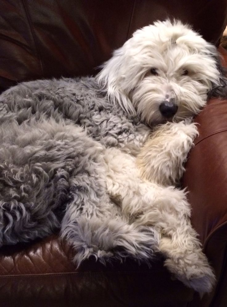 Franklin, Old English Sheepdog