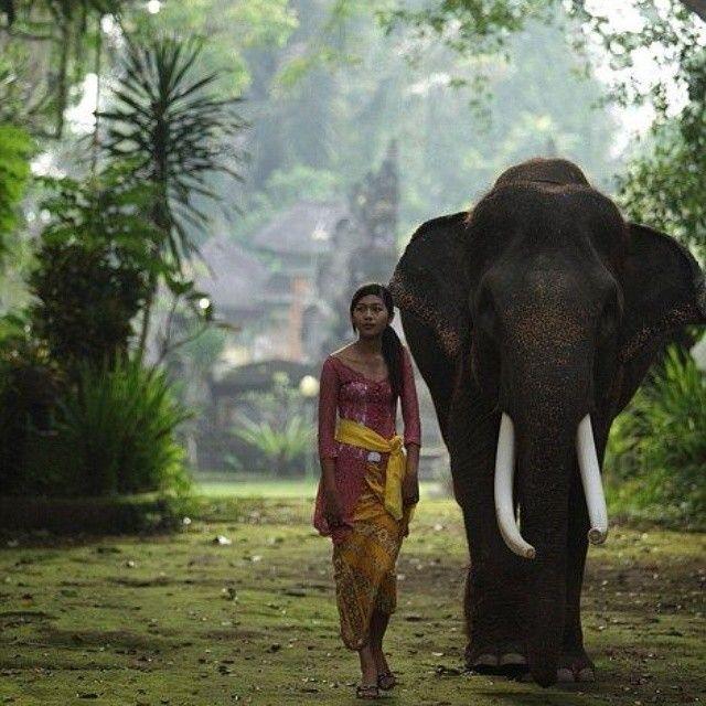 loxodonta del bosque, descubierta hasta el siglo 20 en el Congo es mas pequeño que el elefante asiatico