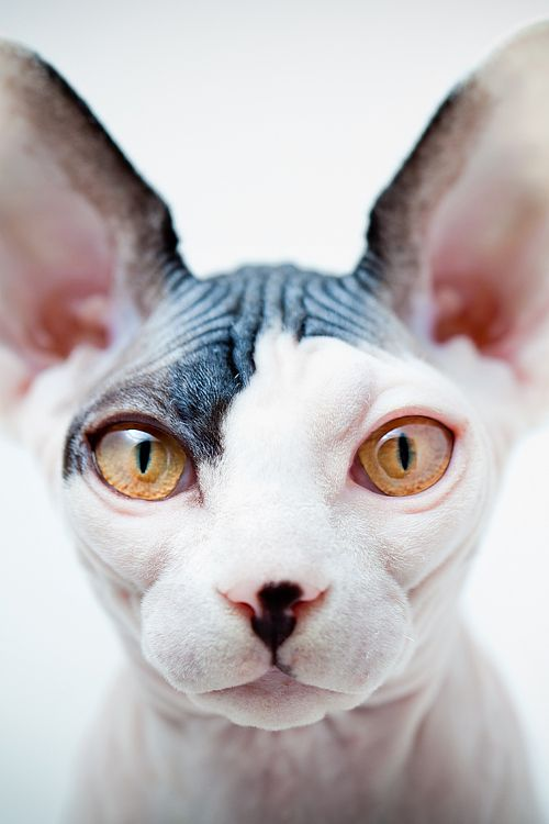 .: Sphynx Cats, Animals, Creature, Beautiful, Hairless Cats, Pets, Sphinx Cat, Kitty, Eye