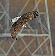 Bald EagleTower Diving On The Susquehanna River