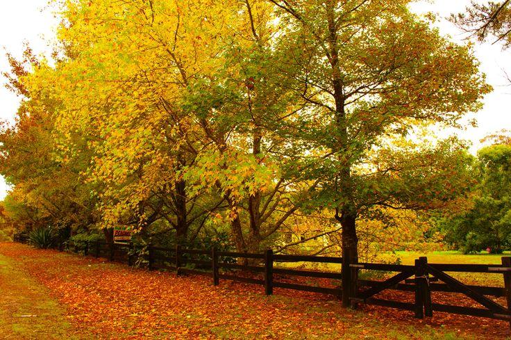 Autumn in Somersby, NSW Australia  Copyright of Jo Thom