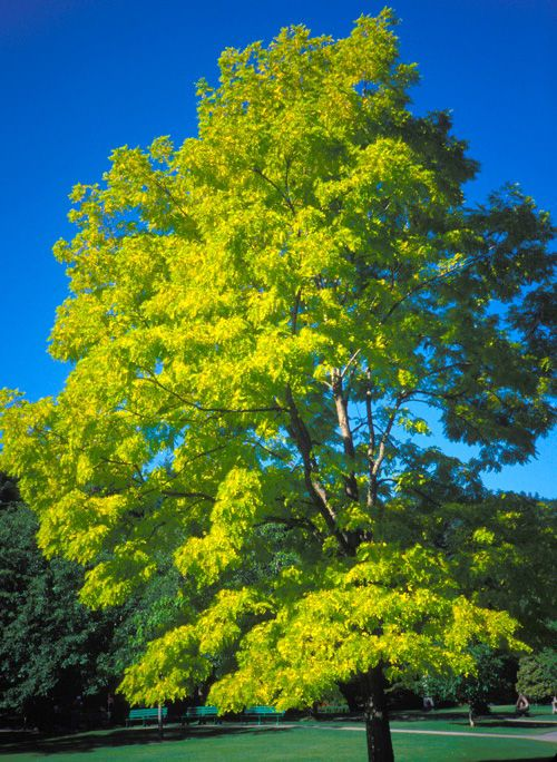 Robinia Pseudoacacia 'Frisia' or golden black locust - just one of my favs