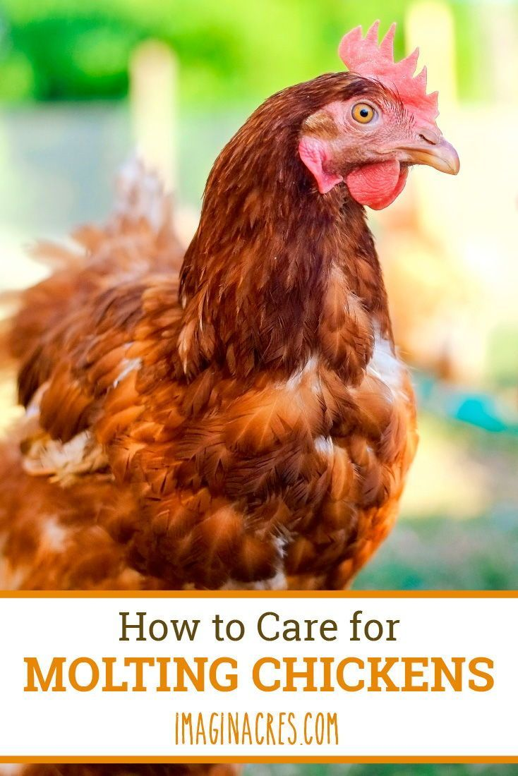 Caring for Molting Chickens | Raising backyard chickens ...