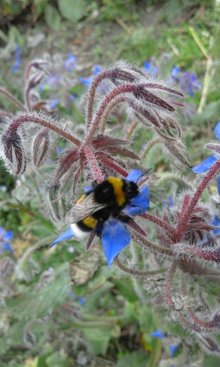 Pronubi insetto che trasporta il polline da un fiore all'altro permettendo l' impollinazione