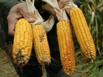GMO Corn No Longer Pest-Resistant, Farmers Say