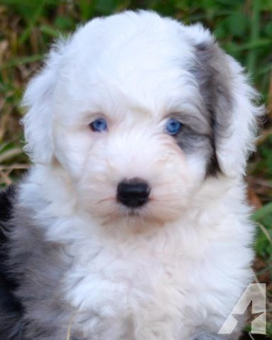 For Sale Miniature Sheepadoodle Puppies Non Shedding 1 Year