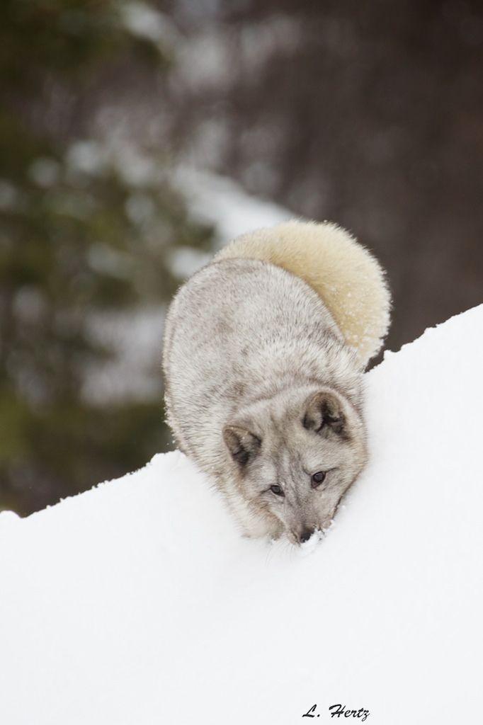 arctic fox   animal + wildlife photography