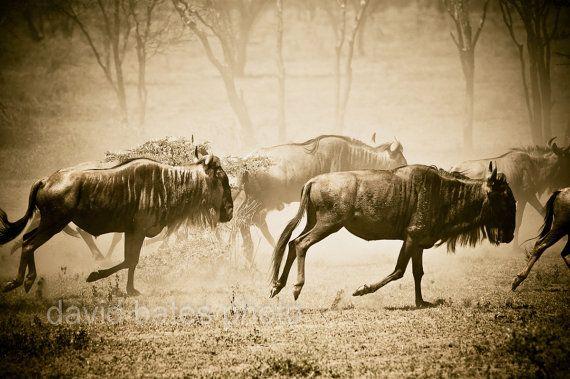 Wildlife Photography African Serengeti Safari by davidbatesphoto