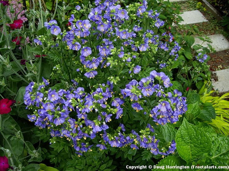 Another plant that is great for shade, Jacobs Ladder..gets about 2 feet tall.Gardens Ideas, Gardens Pleasure, Feet Tall, Ladders, Create Outdoor, Gardens Shad, Shady Plants, Shades Gardens, Shades Flower