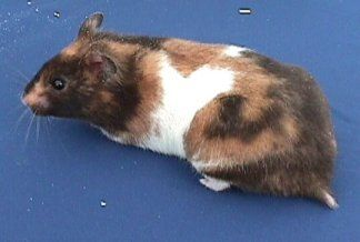 Calico hamster- love teddy bear hamsters this is what our girl S'mores looks like :)