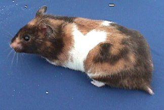And White Teddy Bear Hamster Calico hamster - love teddy bear hamsters ...