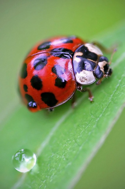 ladybug and droplet on leaf
