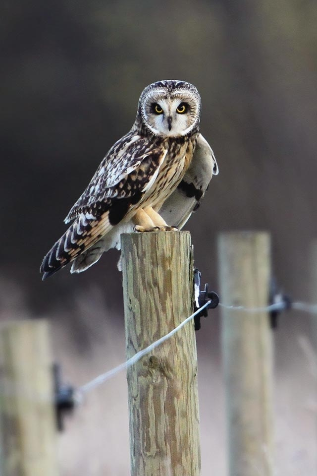 Owl on a fence post