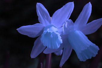 Blue Narcissus Flower | flower blue yellow blossom easter narcissus Martin B. photocase ...